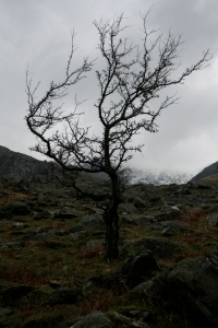 Llanberis tree